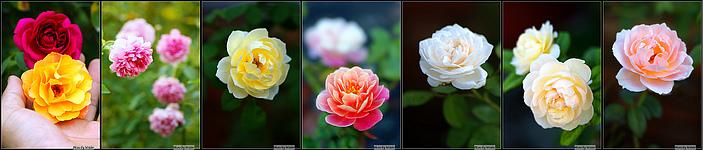 http://pic.hunternet.com.tw/rose-7-1.jpg